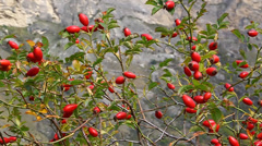 Berries ripe red rose hips on a branch, autumn harvest Stock Footage