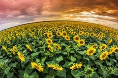 Sunflowers filed at sunset Stock Photos