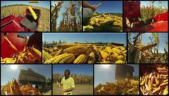 Corn Harvest on Farmland Stock Footage