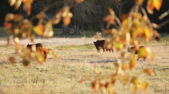 Cattle in Pasture, Afternoon Sun Stock Footage