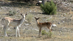 Fallow Deer with young Stock Footage