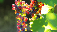 Cluster of Wine Grapes on Vine in Sunlight HD Stock Footage