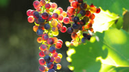 Stock Video Footage of Cluster of Wine Grapes on Vine in Sunlight HD
