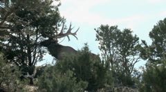 BULL ELK Rubbing Stock Footage