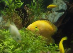 Zebrasoma flavescens in aquarium Stock Photos