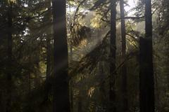 rays of sunshine through a temperate rainforest - stock photo