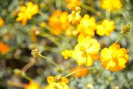 Stock Photo of yellow cosmos flower in garden