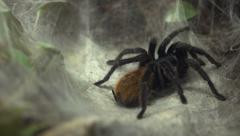 Tarantula sitting in net pan shot Stock Footage