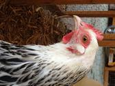 Stock Photo of Musigny the Sussex Chicken