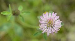 Red clover, medicinal plant,Trifolium pratense - stock footage