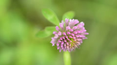 Red clover, medicinal plant,Trifolium pratense Stock Footage
