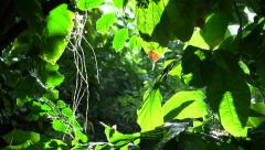Pan to wild butterflies in rain forest Stock Footage