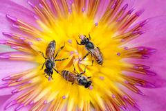 Bees in waterlily Stock Photos