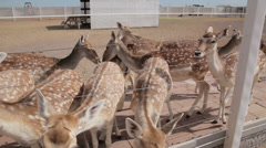 Group of white spotted deer approach to be fed. - close up 1 Stock Footage