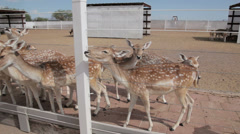 Group of white spotted deer approach to be fed. - medium - 2 Stock Footage