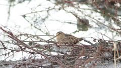 Common snipe looking for food in swamp / Gallinago gallinago Stock Footage