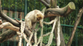 Monkey climbing down a net Footage