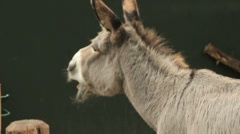Female donkey braying Stock Footage