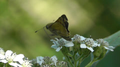 Woodland Skipper Butterfly on White Wild Flowers Stock Footage