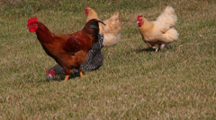 Large rooster and several chickens Stock Footage