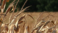 Stock Video Footage of Super shallow depth of field of dry corn stalks