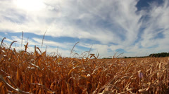 Super wide angle shot of field of dry corn with blue skies Stock Footage