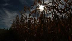 Eerie shot of sun shining through dry corn crop Stock Footage