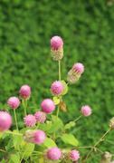 Globe amaranth or gomphrena globosa flower Stock Photos