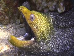 Green Moray (Gymnothorax Funebris) Close-up, red sea Stock Footage