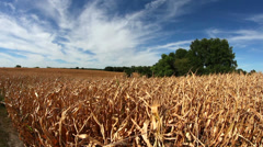 Slider shot of dry corn crops with blue sky white clouds Stock Footage