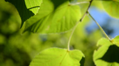 Lime tree Tilia sp. leaves in wind Stock Footage