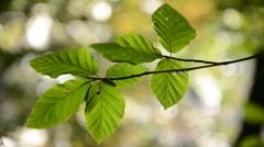 Beech tree branch - Fagus sylvatica Stock Footage