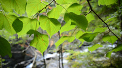 Lime tree Tilia sp. leaves back lit Stock Footage