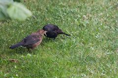 blackbird junior - stock photo