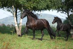 Mare with foal running in autumn Stock Photos