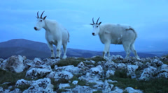 Mountain Goats in the wild Stock Footage