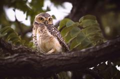 Owl Alert Stock Photos