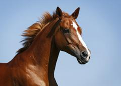 Germany, baden wuerttemberg, constance, trakehner mare gallopping, close up Stock Photos