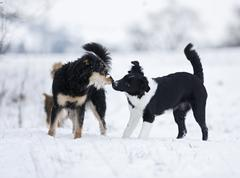 Germany,baden wuerttemberg, three canine dog playing in snow Stock Photos
