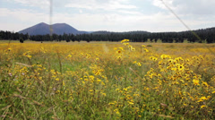 Field of wild yellow daisies pan ground level - version 1 Stock Footage