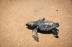 Baby sea turtle struggles to reach the sea at praia do forte, bahia, brazil. Stock Photos