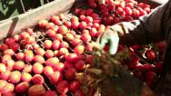 Stock Video Footage of Worker on harvester selecting tomatoes