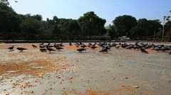 Shot of pigeons feeding Stock Footage