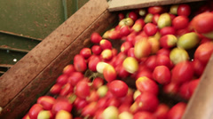 Worker on harvester selecting tomatoes Stock Footage