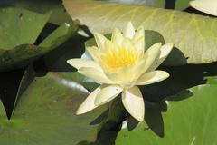 Blooming water lily Stock Photos