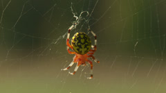 Stock Video Footage of Marbled Orbweaver (Araneus marmoreus) Spider - Female 4