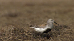 Dunlin goes to nest Stock Footage