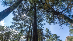 4K UHD NTSC Rotational slider upshot pine trees clouds with sun flare timelapse Stock Footage