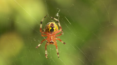 Stock Video Footage of Marbled Orbweaver (Araneus marmoreus) Spider - Female 2
