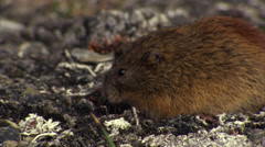 Brown lemming Stock Footage